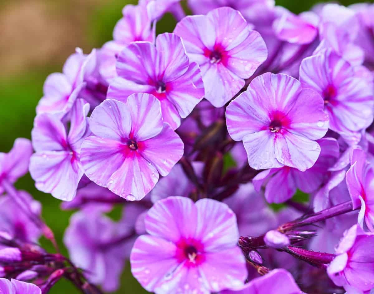 For a fragrant perennial, grow garden phlox plants.