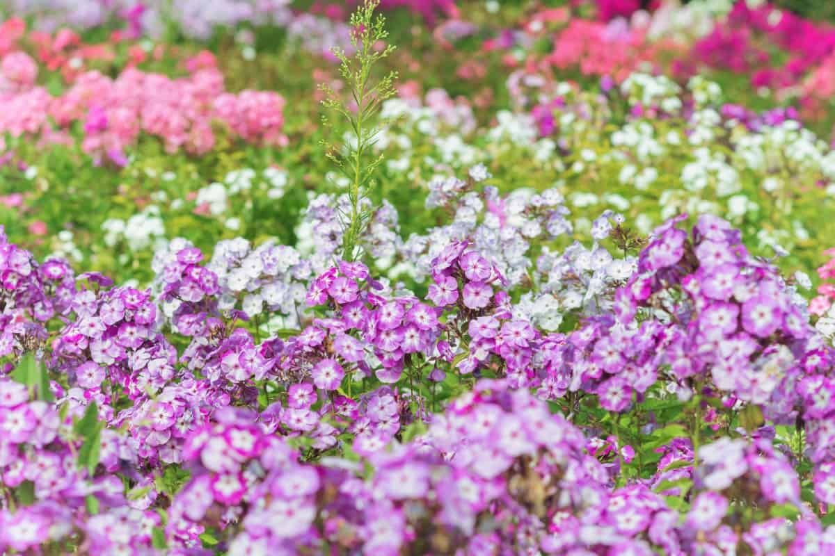 Garden phlox are perennials that have a long blooming period.