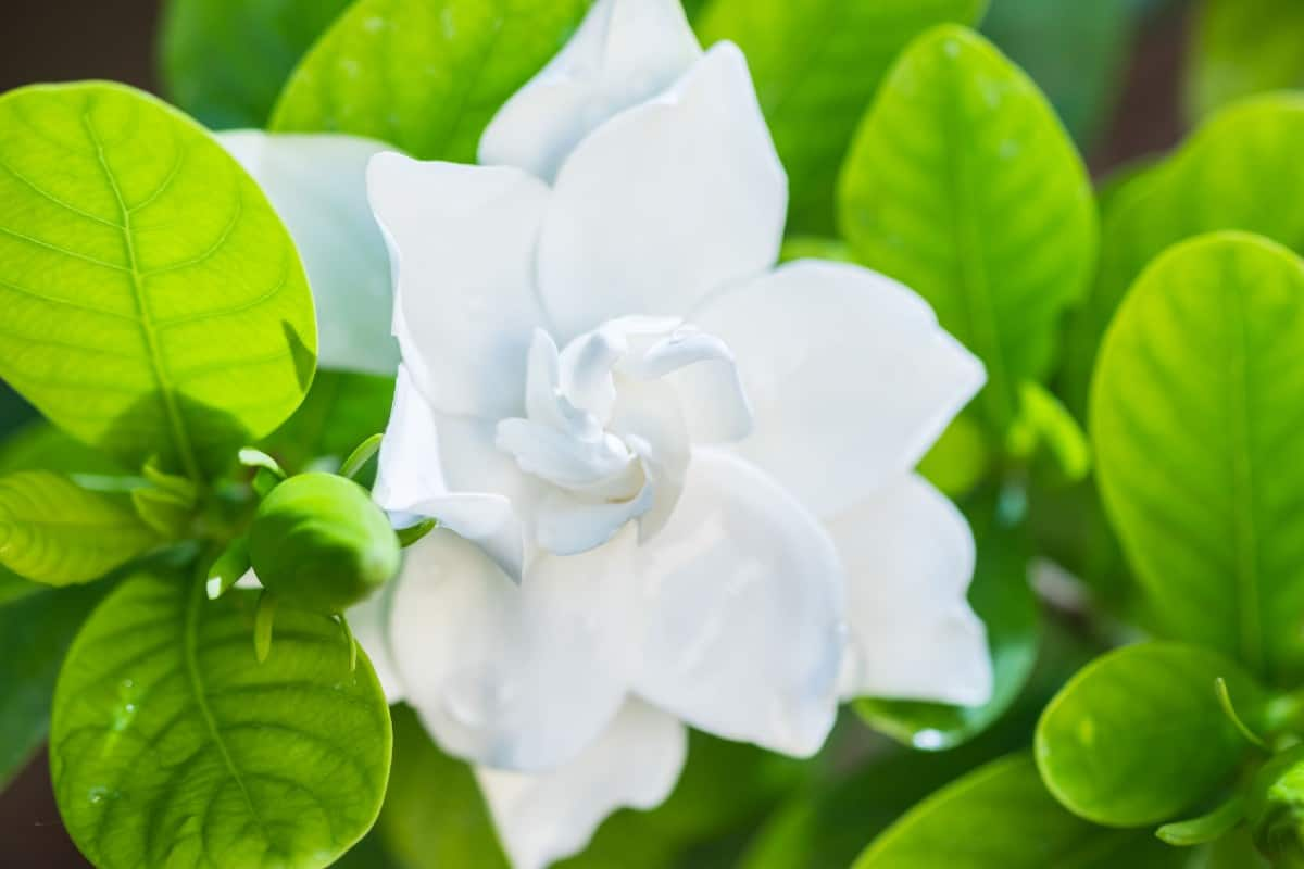 Gardenia flowers are popular for weddings.