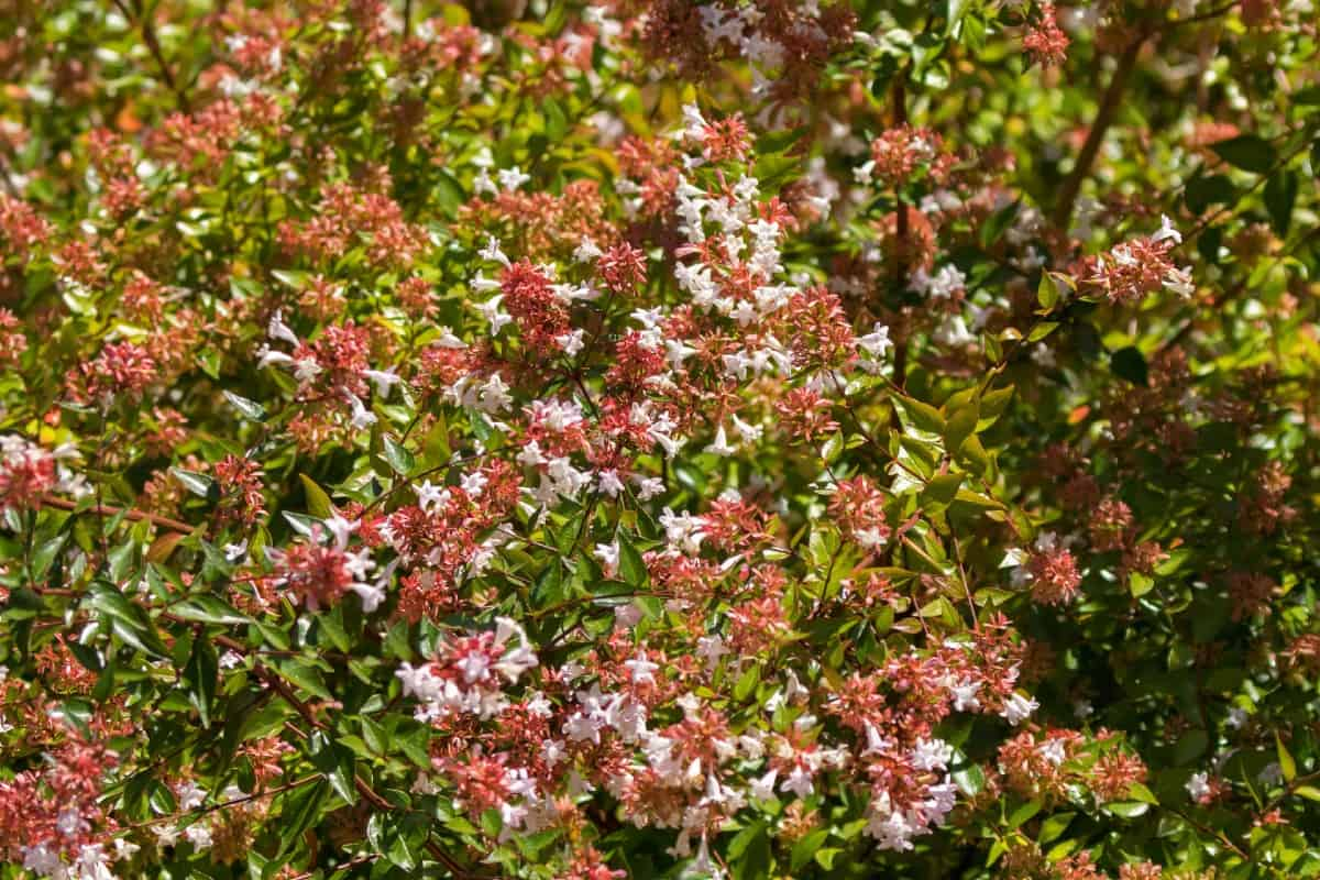 Glossy abelia shrubs are pollinator magnets.