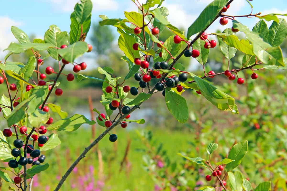Glossy buckthorn is typically grown as a hedge plant but it takes over the area.