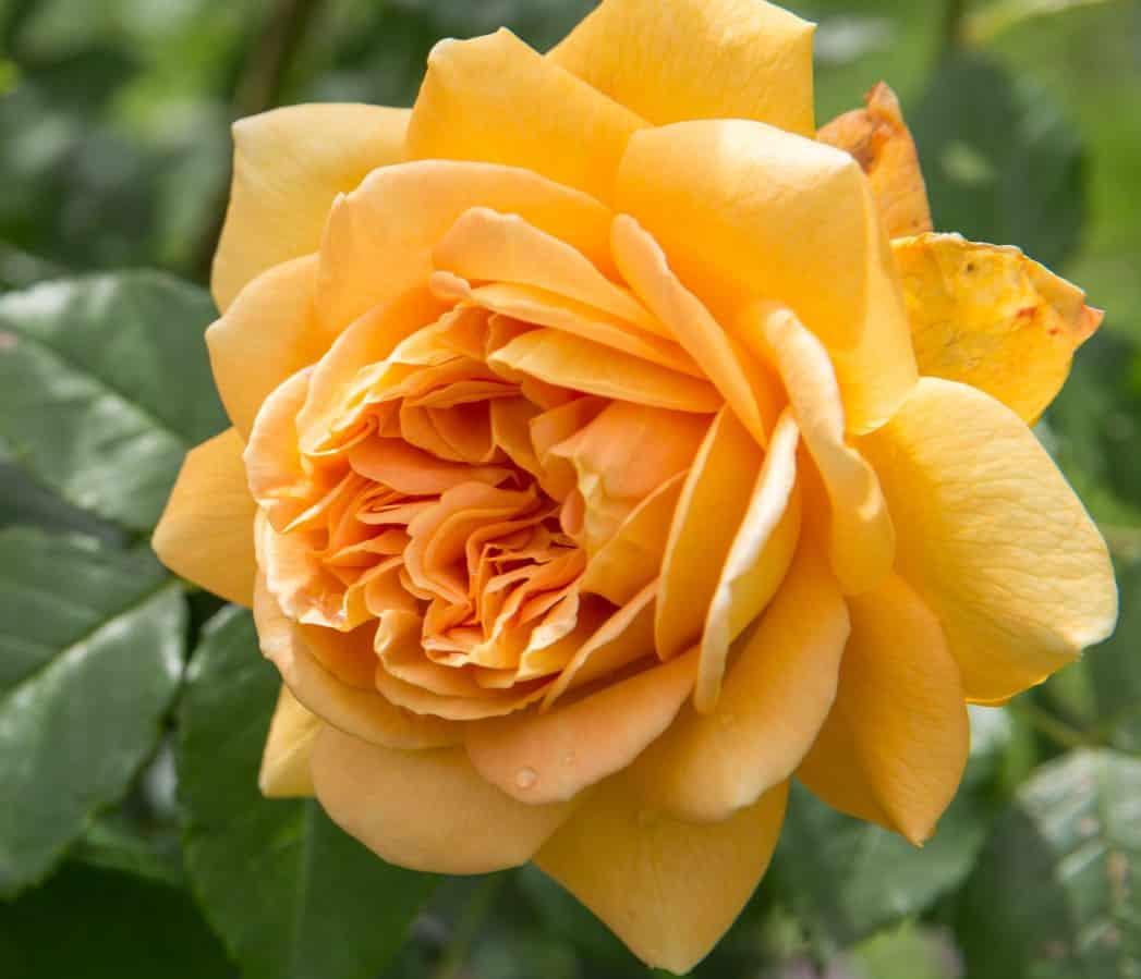 Golden celebration roses make excellent cut flowers.