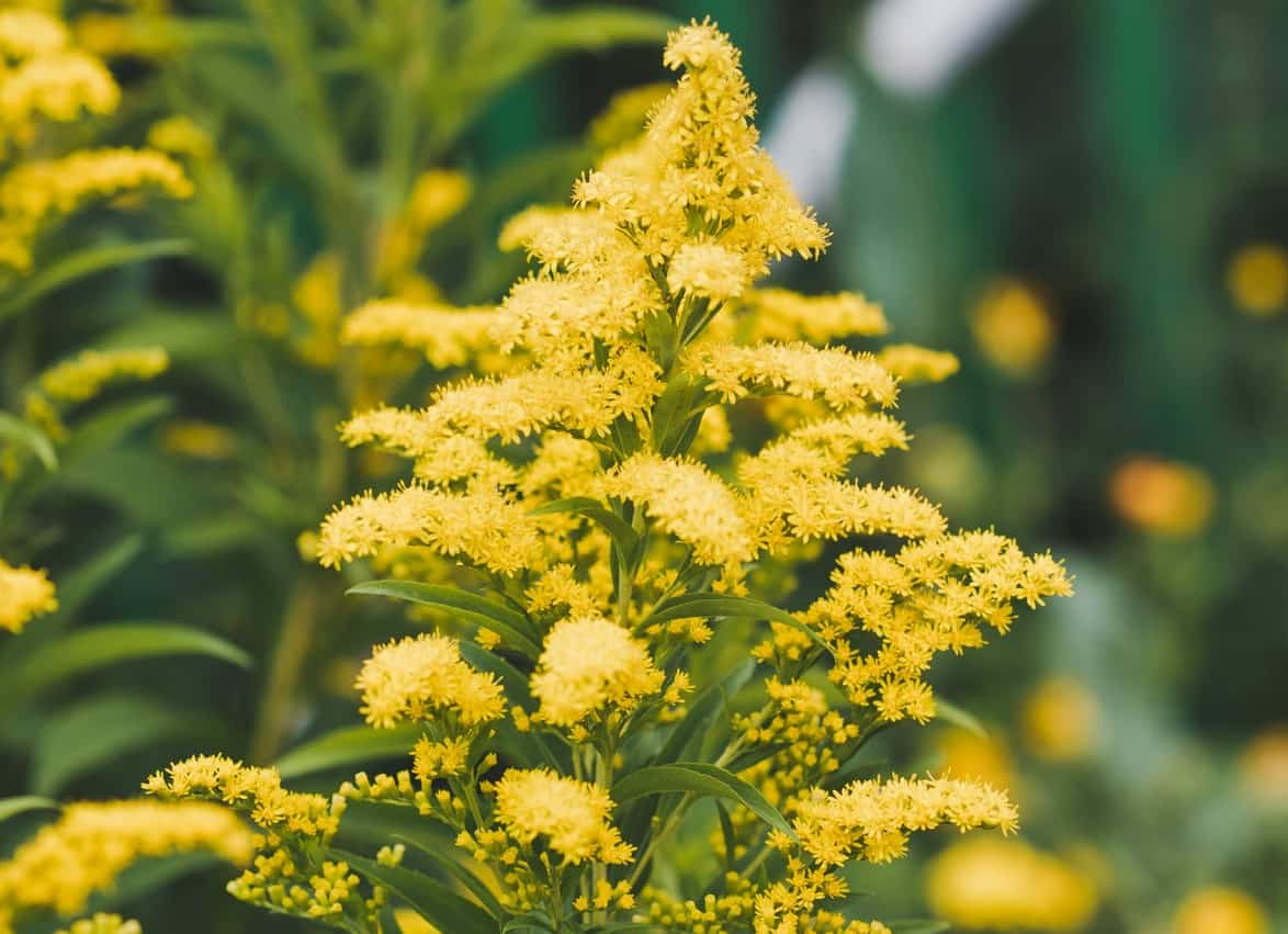 People classify goldenrod perennials as weeds or wildflowers.