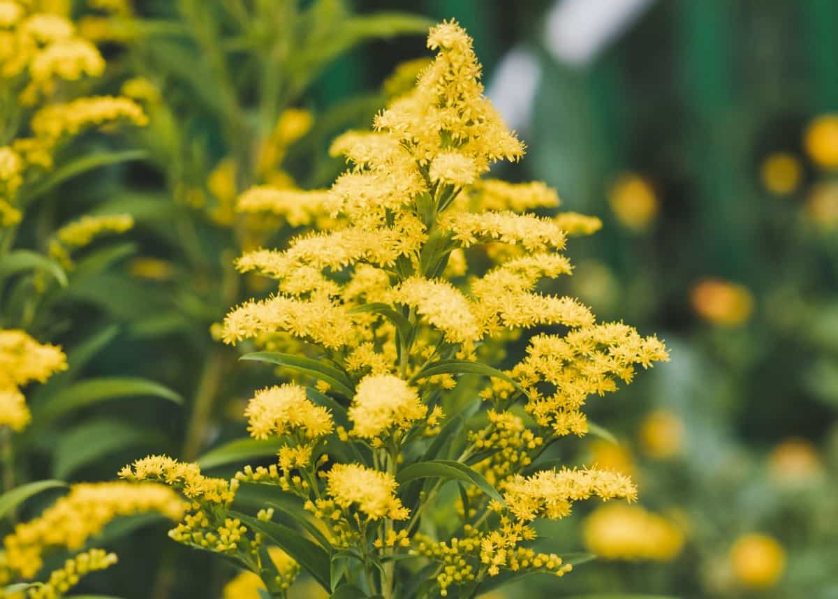 The yellow flowers of goldenrod draw insects away from other plants.