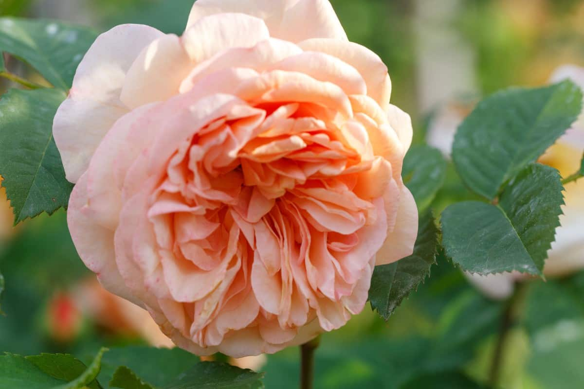 The grace rose is well-suited for a container and needs part-shade to thrive.