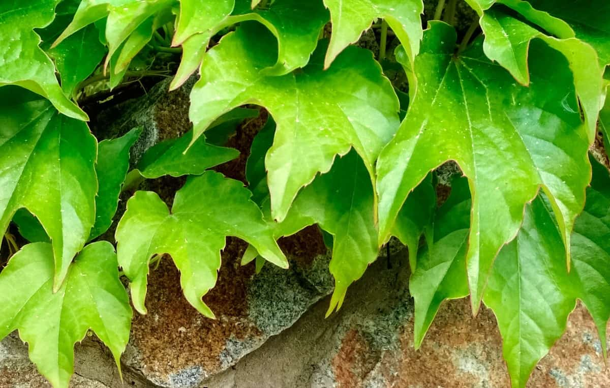 Grape ivy drapes easily.