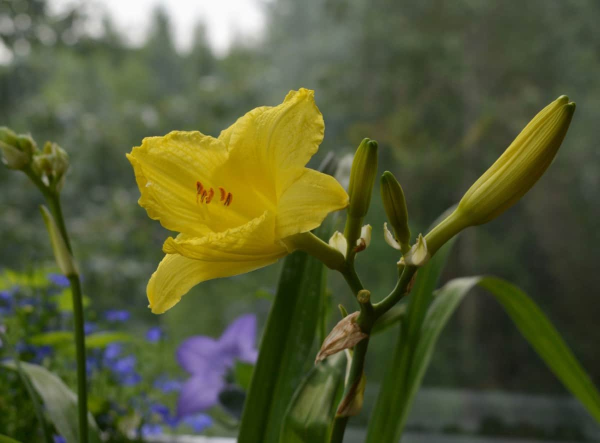 The Happy Returns daylily blooms a long time.