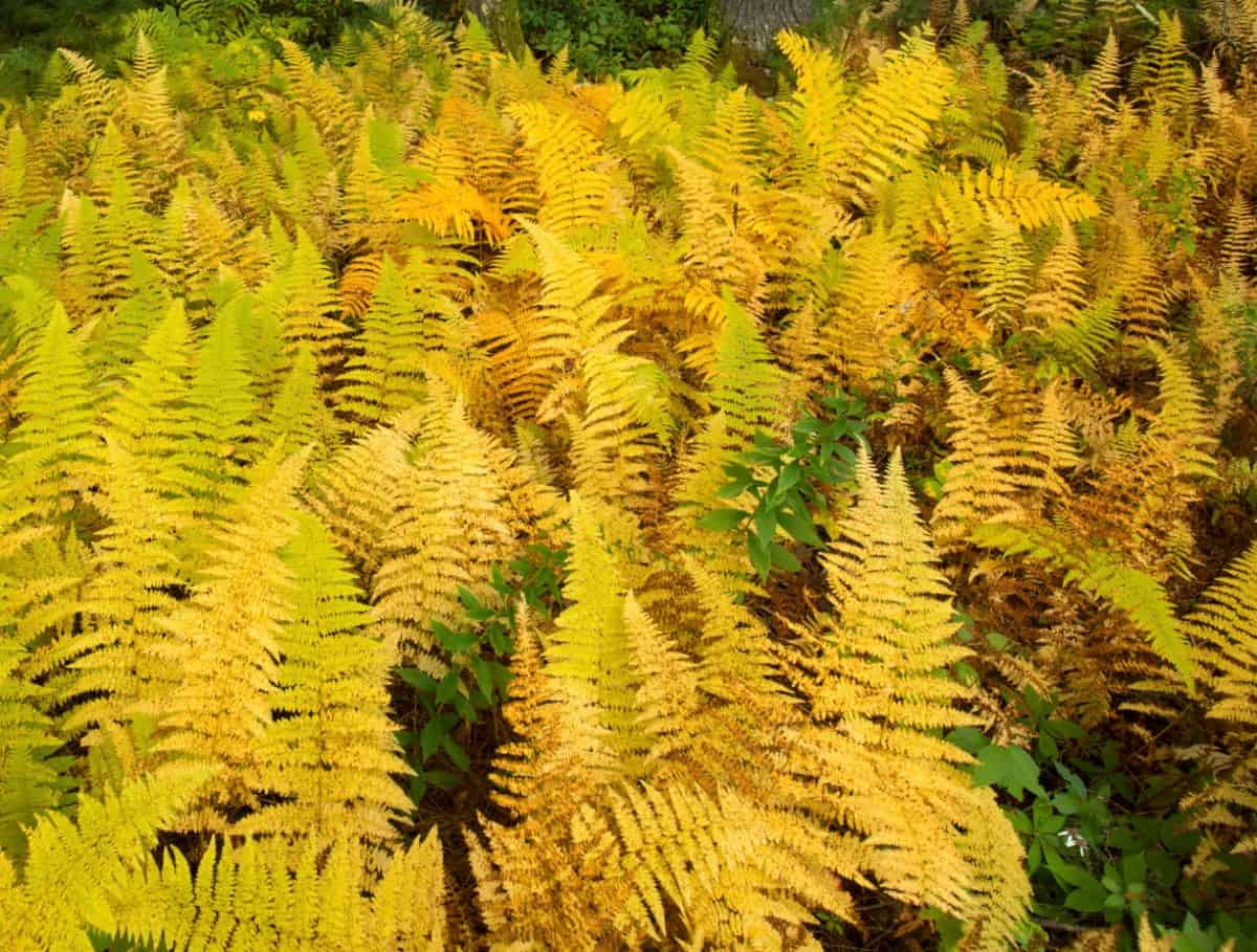Brush against the hay-scented fern to release its aroma.