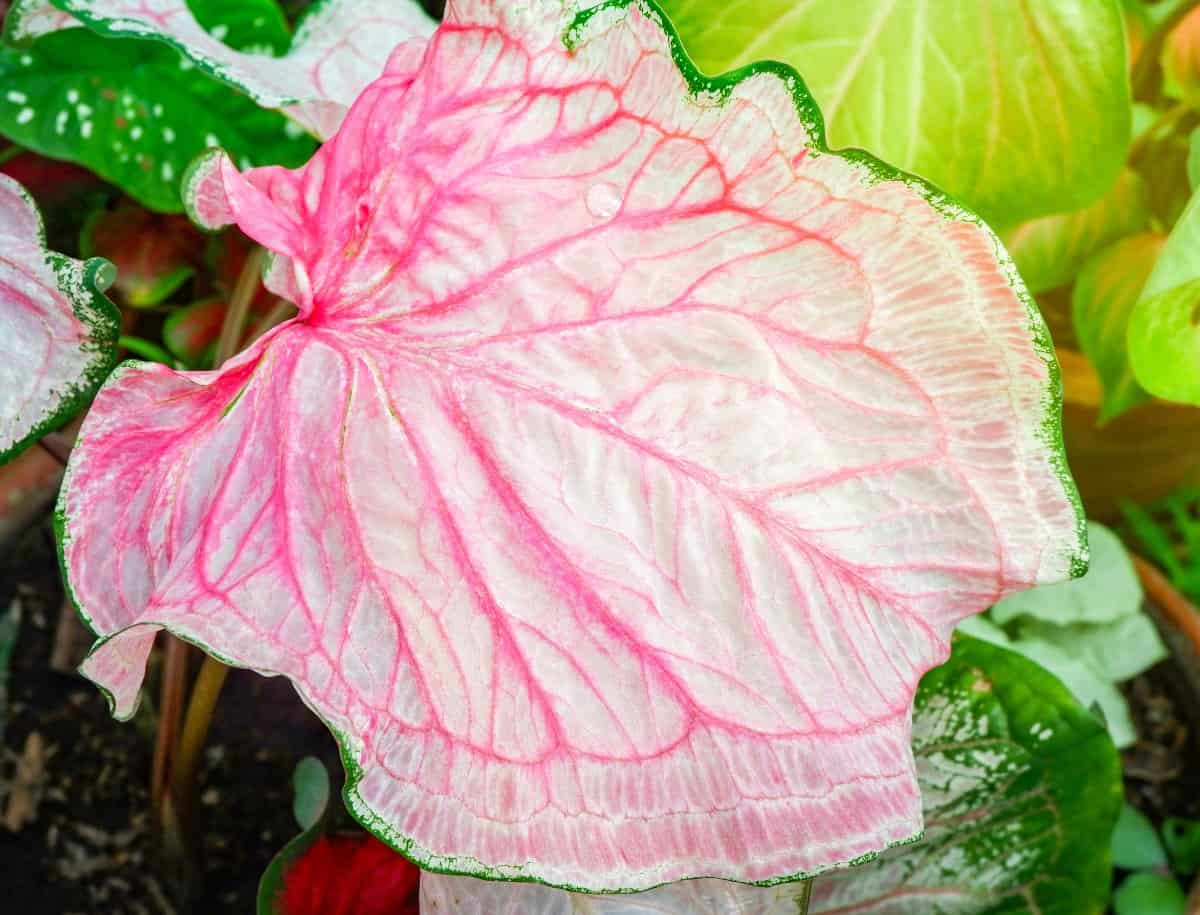 Heart of Jesus or caladium is a low-growing foliage plant.