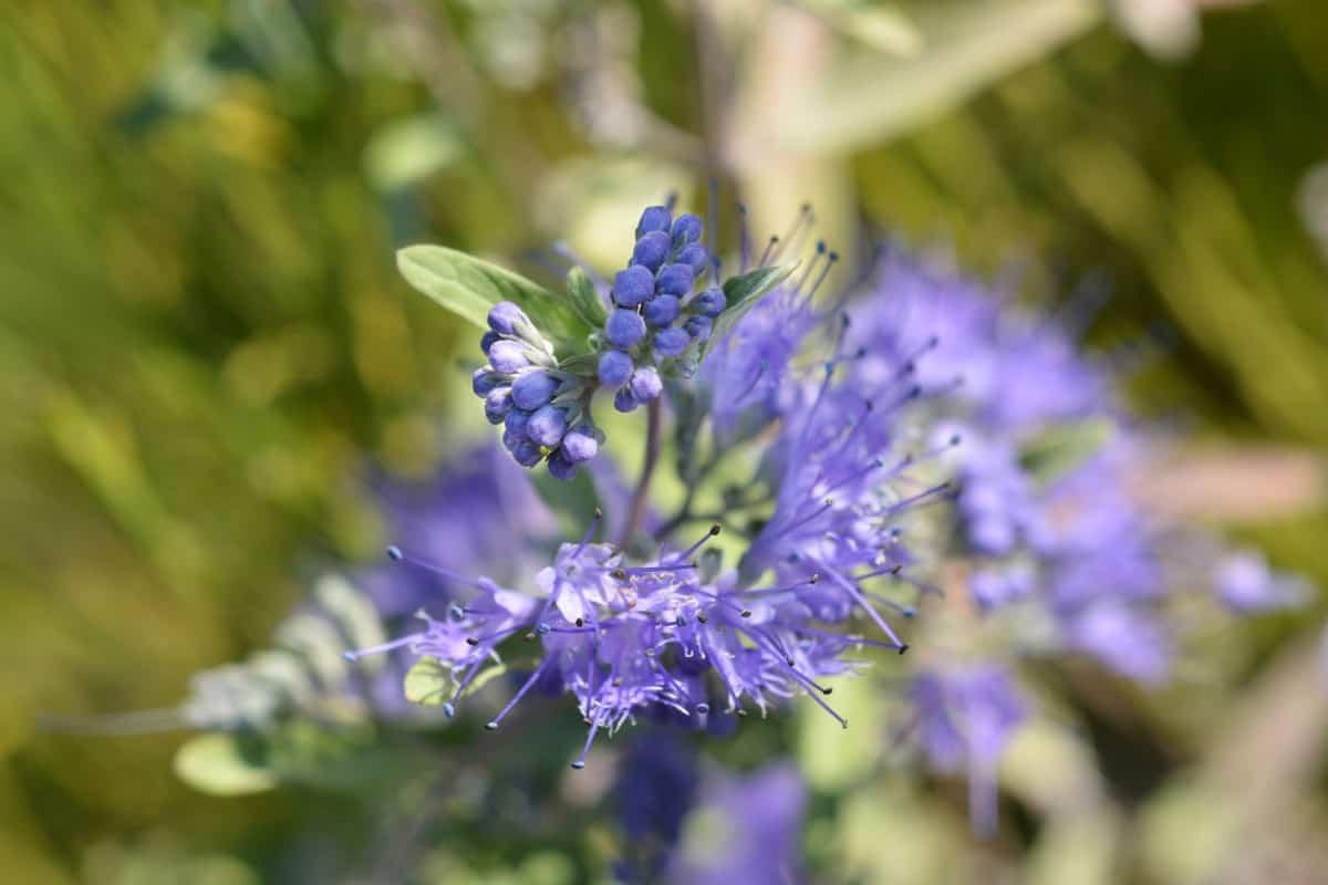 Heavenly blue bluebeard makes an excellent cut flower.