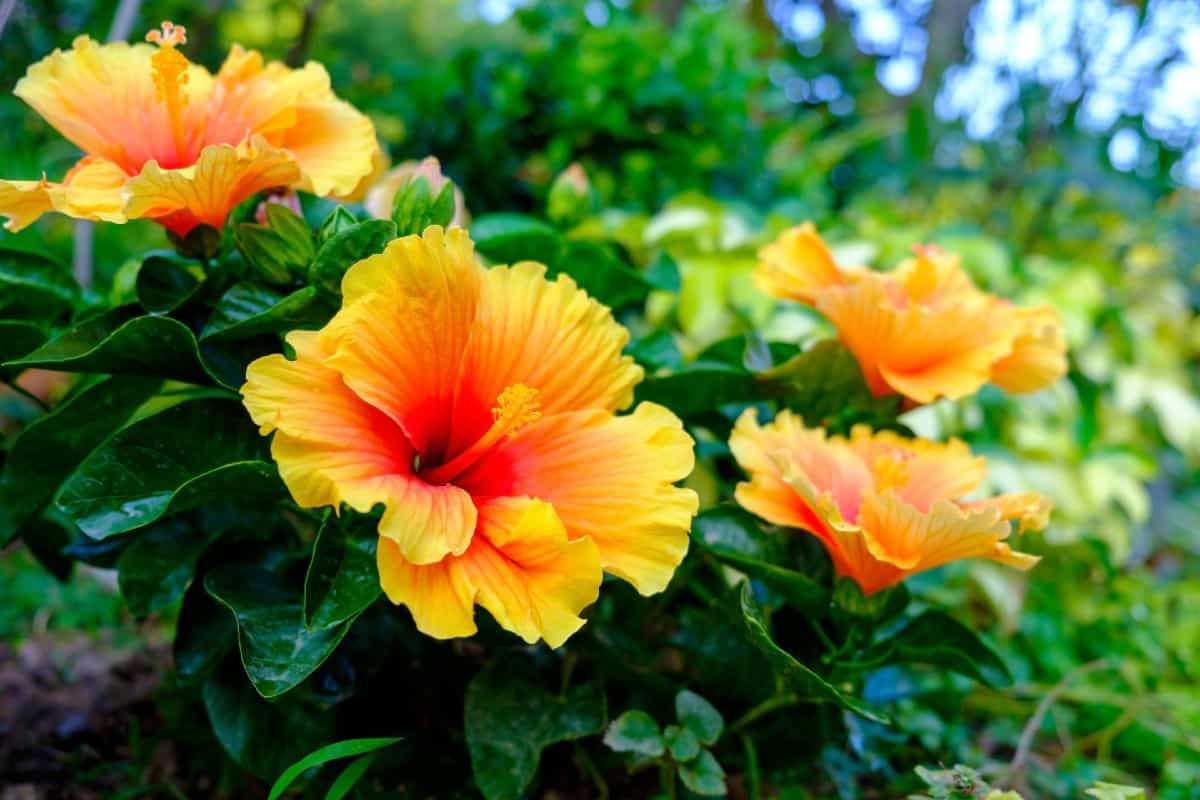 Hibiscus is the perfect tropical flower for the pool area.
