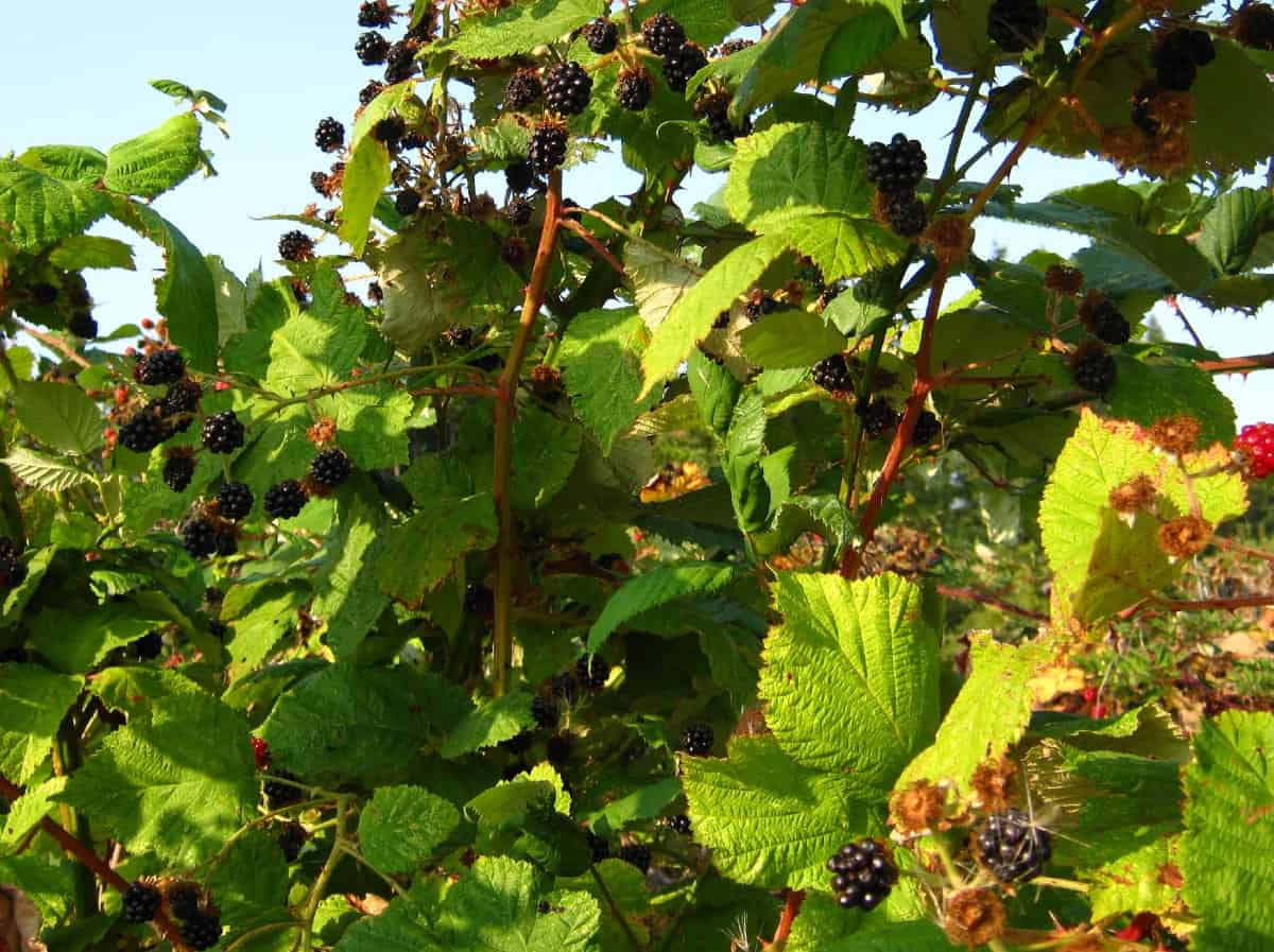 The Himalayan blackberry has thick, sharp thorns.