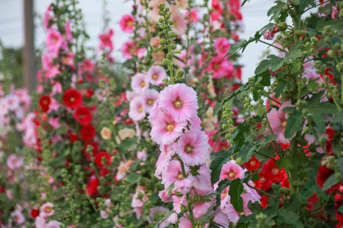 Hollyhock is a perennial nectar plant.