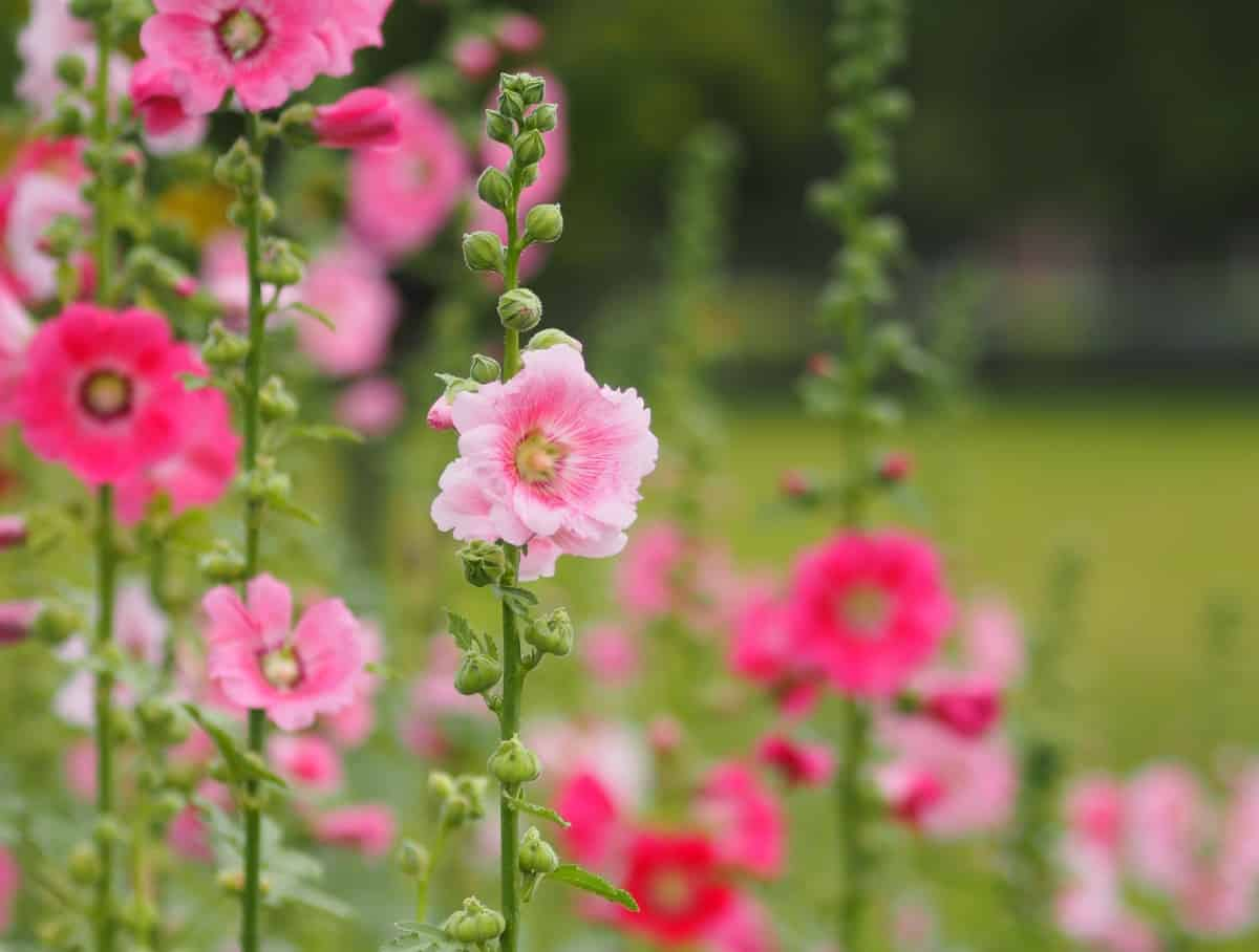 Hollyhock is a low-maintenance plant.