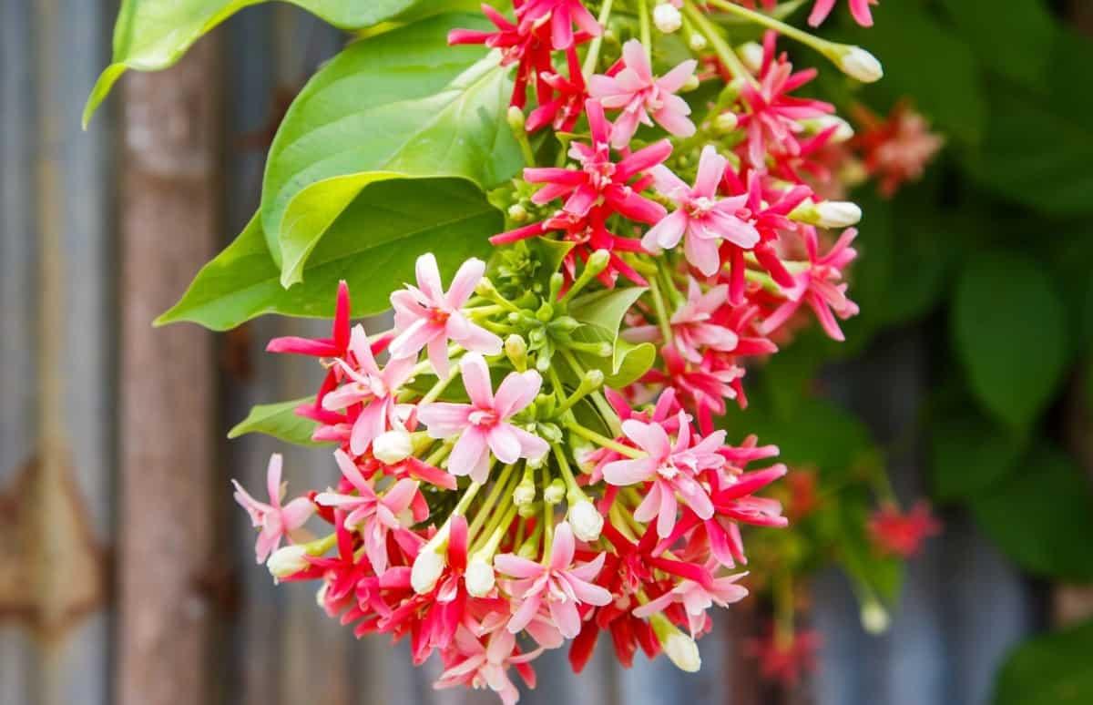 Honeysuckle vines draw hummingbirds for their sweet nectar.
