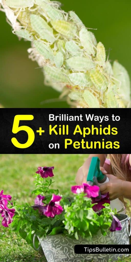 Discover how to get rid of an aphid infection on petunias using natural options like dish soap, a strong stream of water, or neem oil. Keep them away for good by introducing beneficial insects like lacewings and ladybugs. #aphids #petunias #killaphids