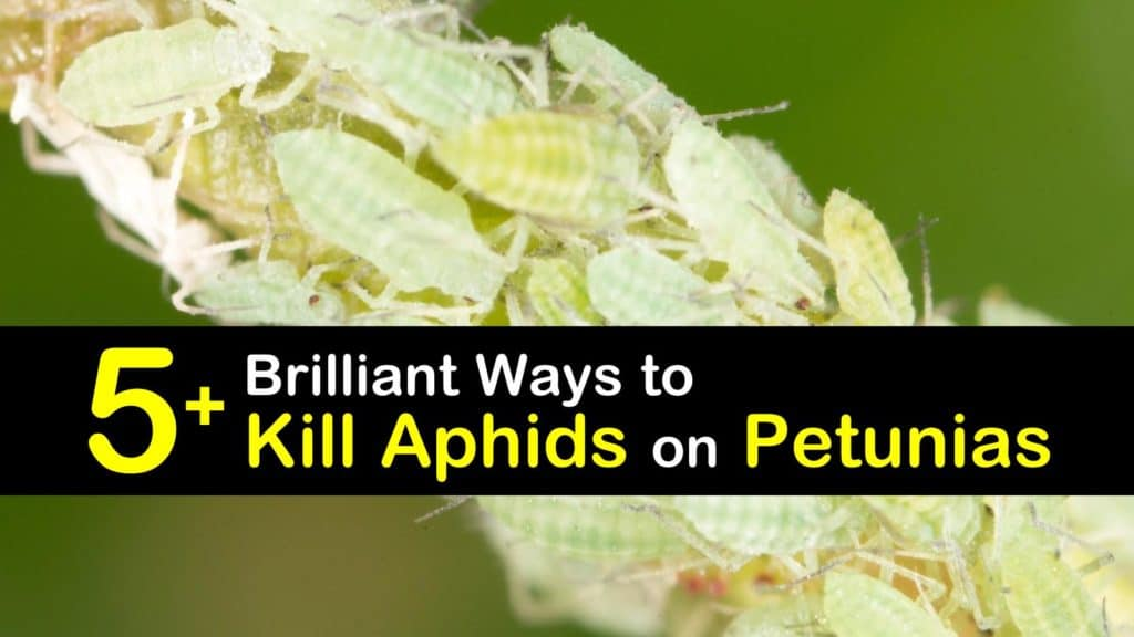 How to Get Rid of Aphids on Petunias titleimg1