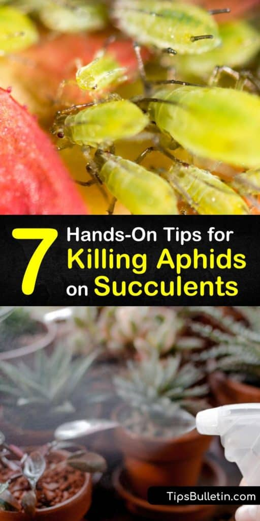 Learn how ladybugs, insecticidal soap, and neem oil can halt an aphid infestation on your succulent plants and houseplants. Grab a spray bottle and some dish soap to keep your succulents happy and healthy for years to come. #killaphids #aphids #succulents