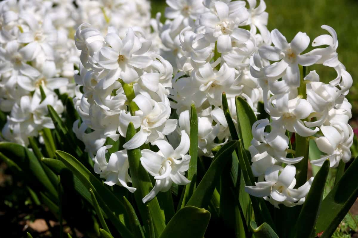 Hyacinth blooms in early spring with a pleasant scent.