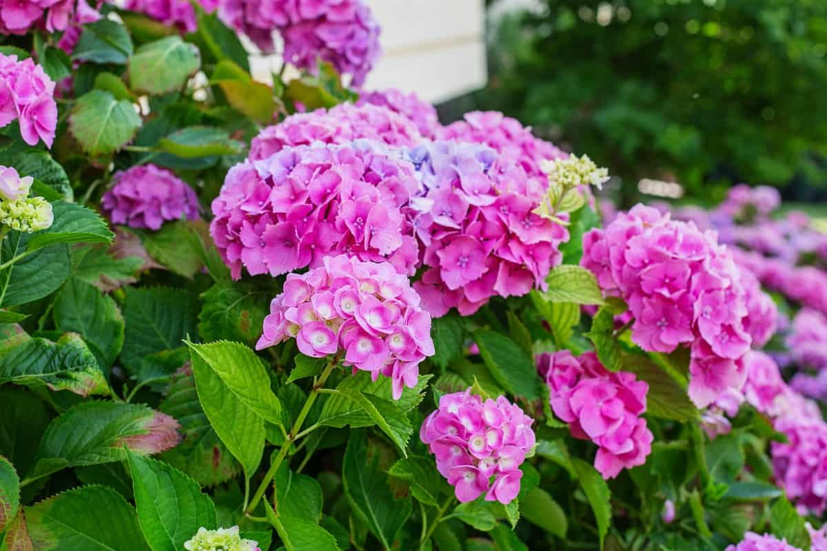 Hydrangea shrubs have big blooms in pink or purple.