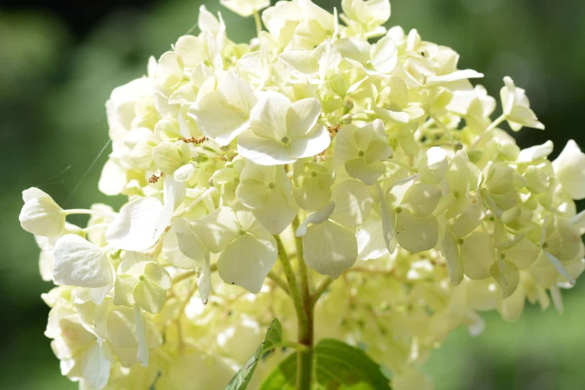 Most hydrangeas are very hardy plants.