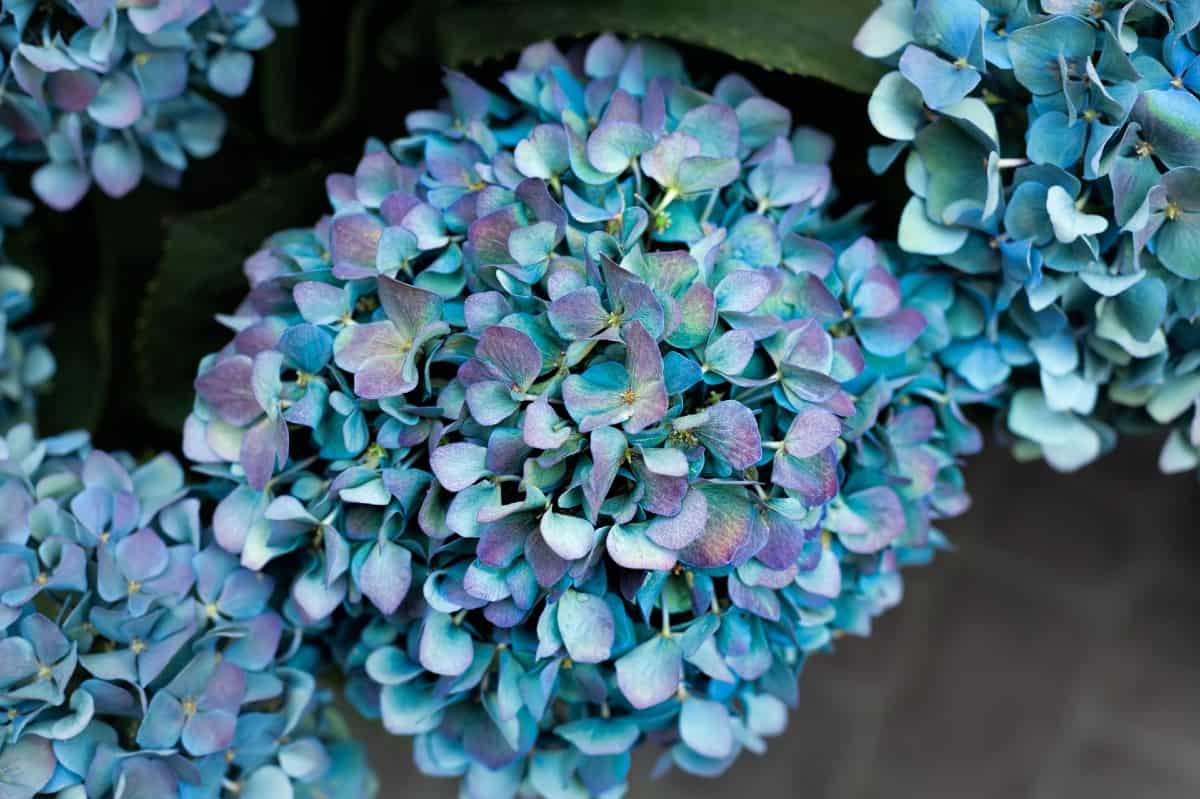 A gorgeous flowering plant, hydrangea develops a strong root system.