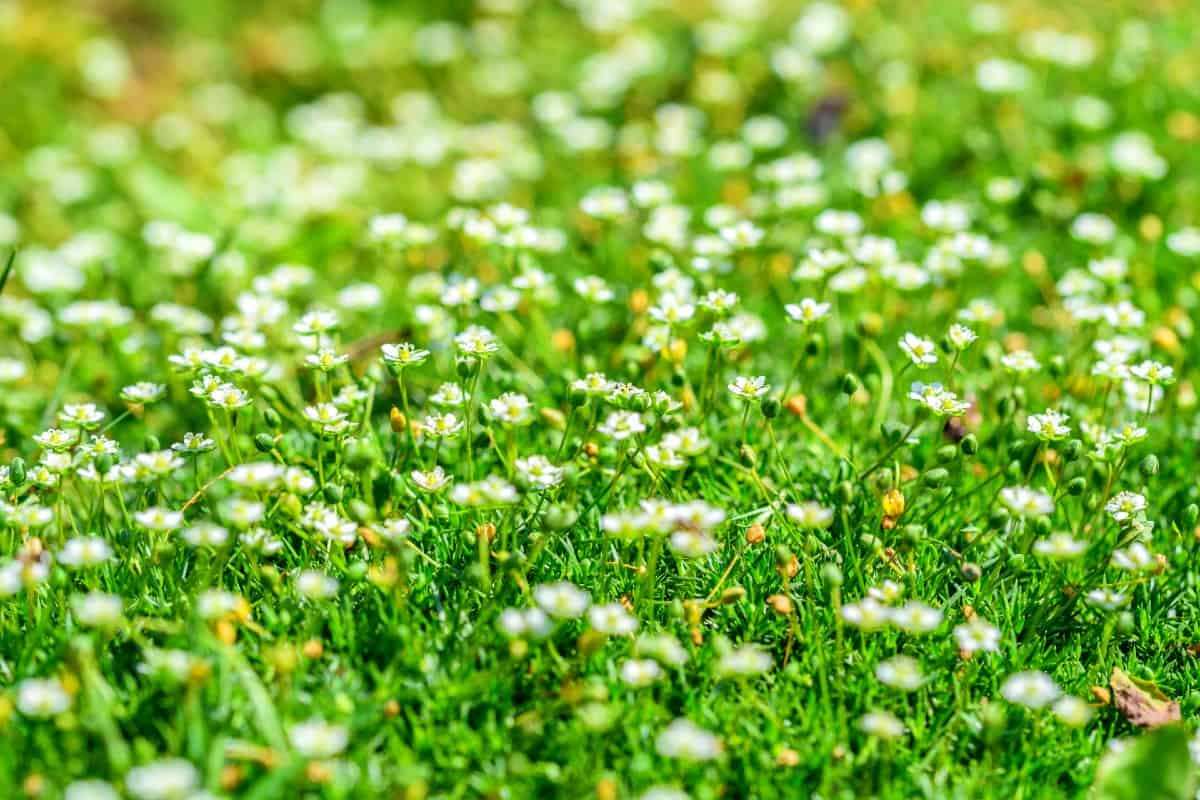 Irish moss is an excellent ground cover plant to put between pavers.