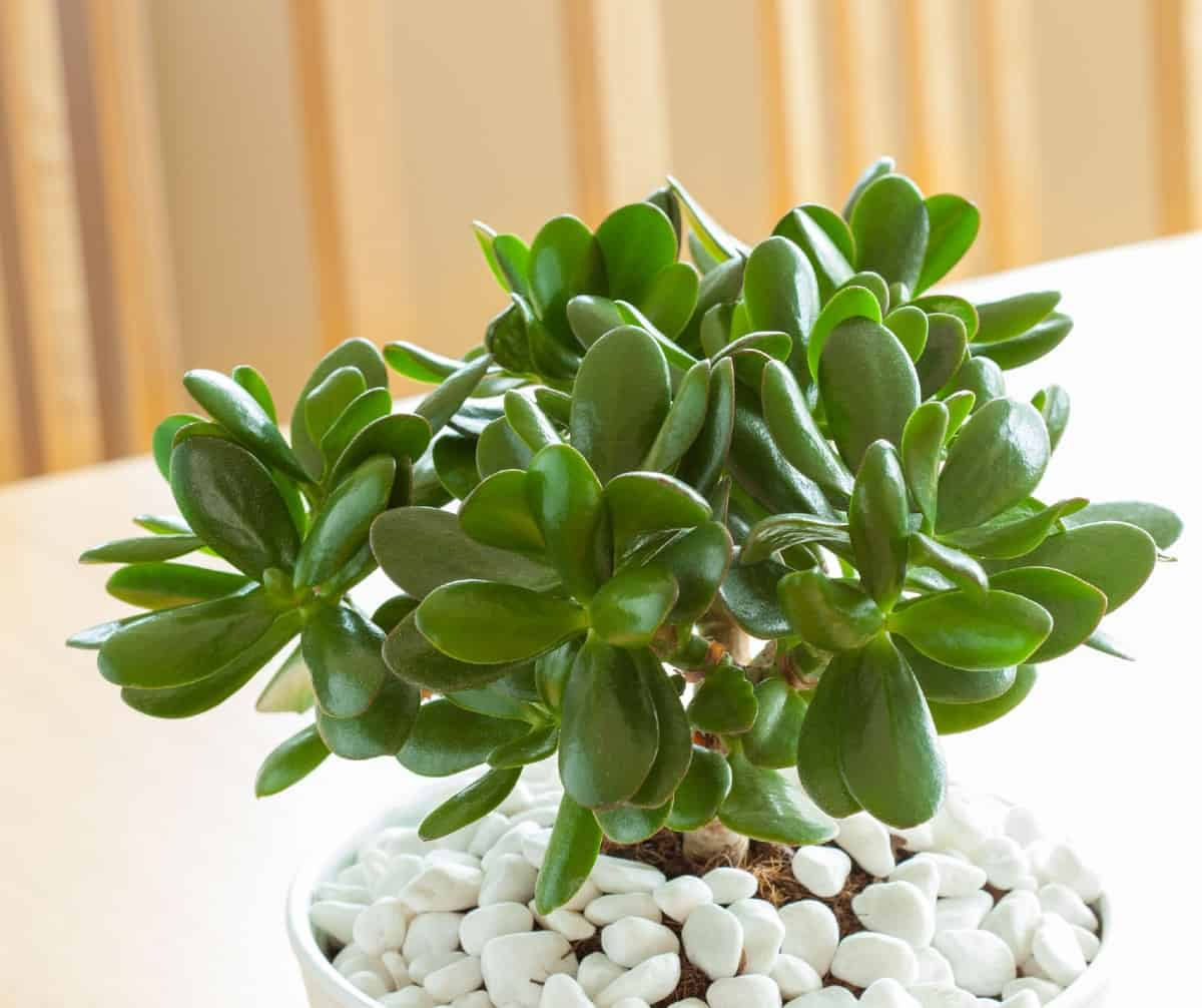 Jade plants are highly drought tolerant.