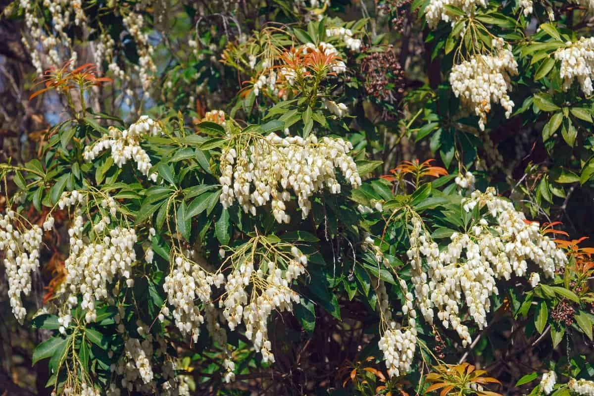 Japanese pieris is a deer-resistant shrub with unusually-shaped flowers.