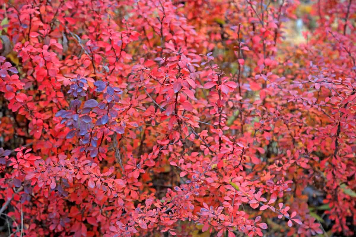 Japanese barberry is an attractive shrub that deters deer.