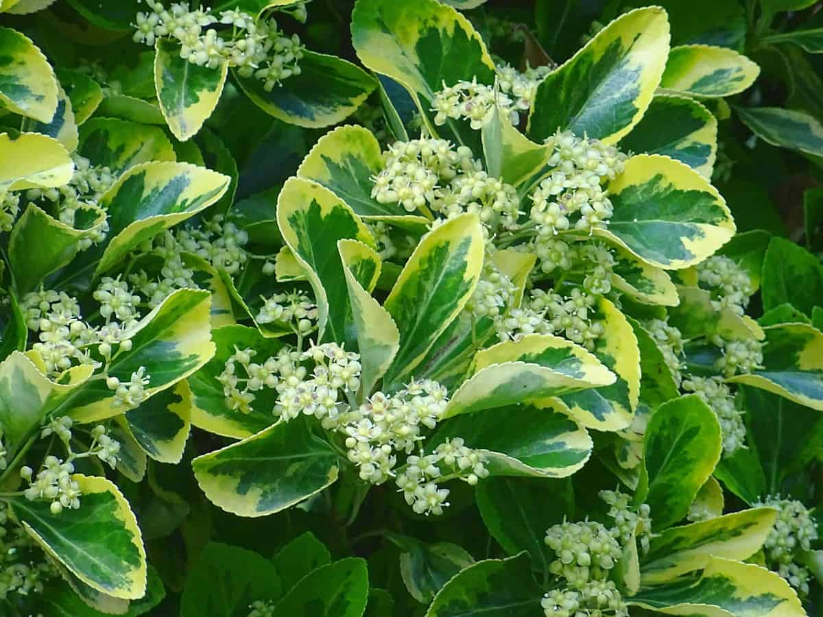 The Japanese euonymus is the ideal pool hedge shrub.