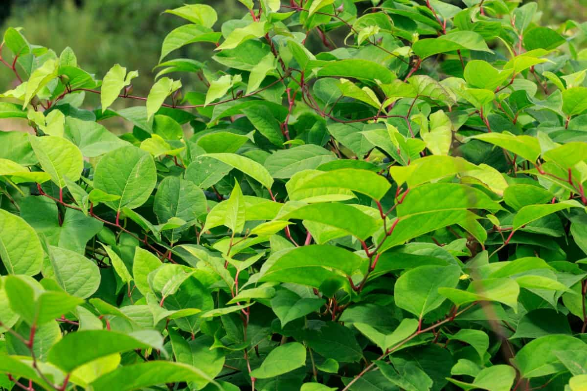 The Japanese knotweed spreads fast in the sun.