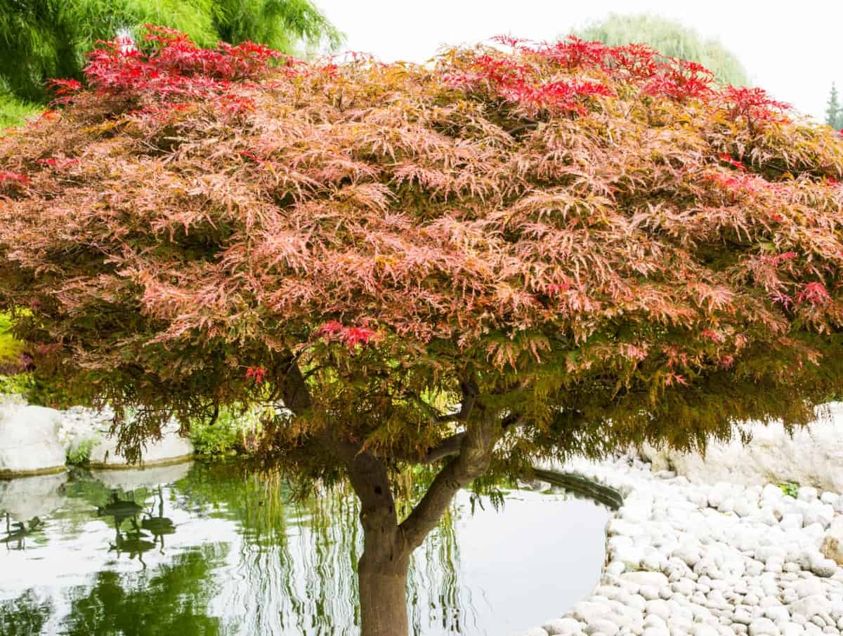 Japanese maples are suitable for the garden or containers.