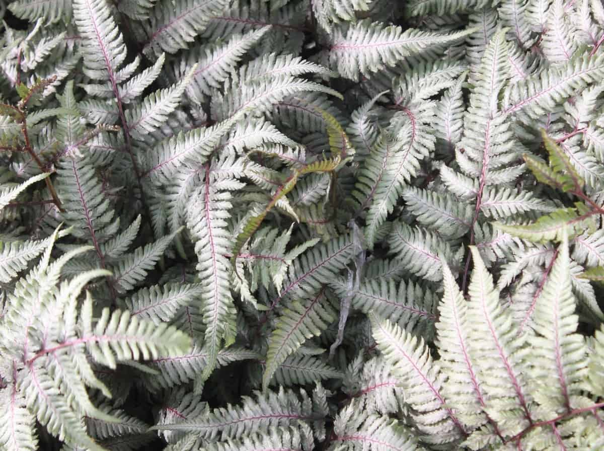The Japanese painted fern makes an excellent ground cover plant.