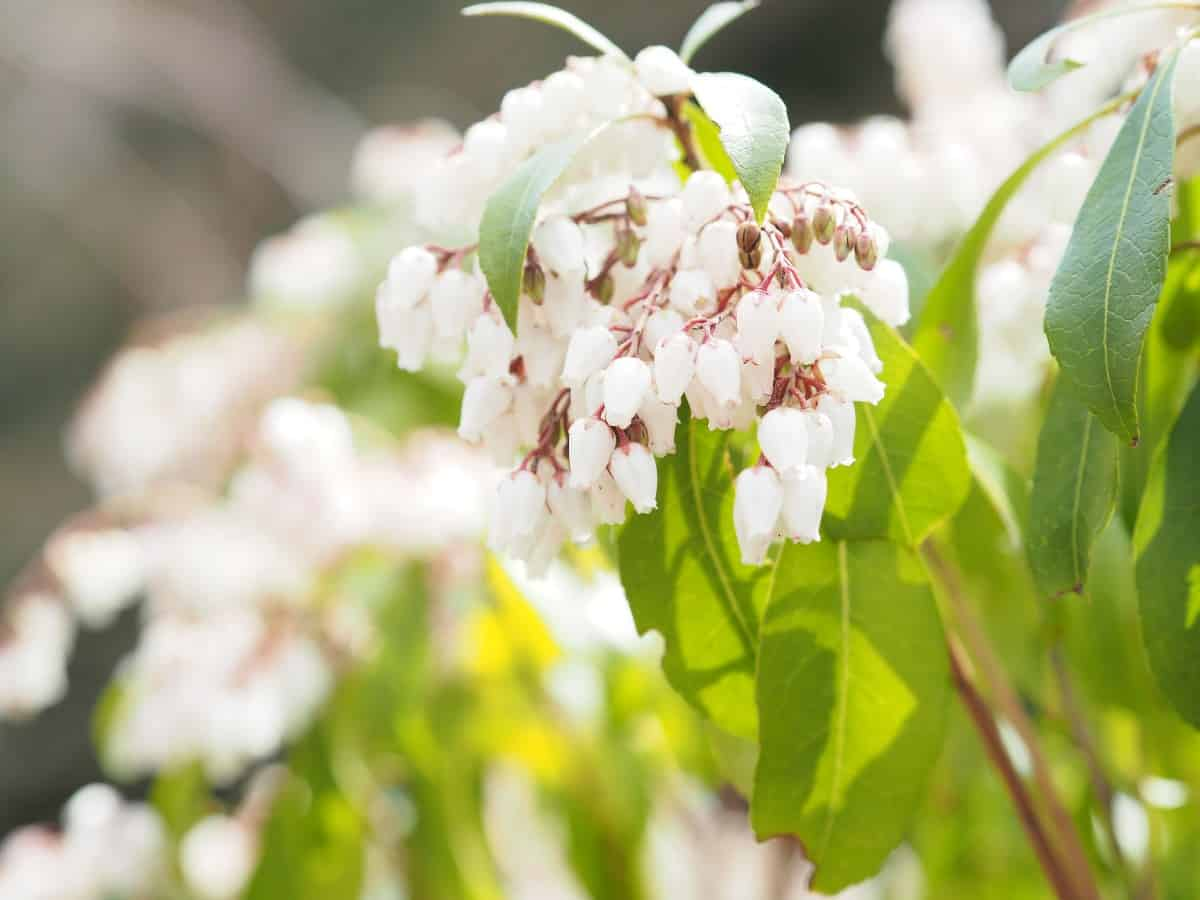 Japanese pieris is also known as the lily of the valley shrub.