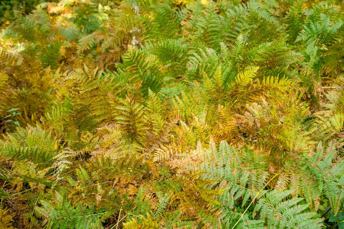 The Japanese shield fern is also called the autumn fern because of the shading of the leaves.