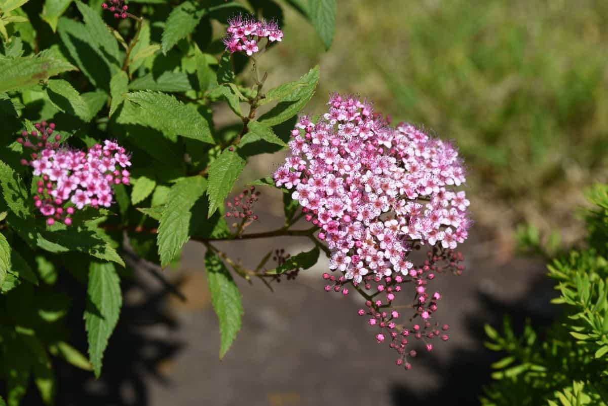 Japanese spiraea is also called the maybush.