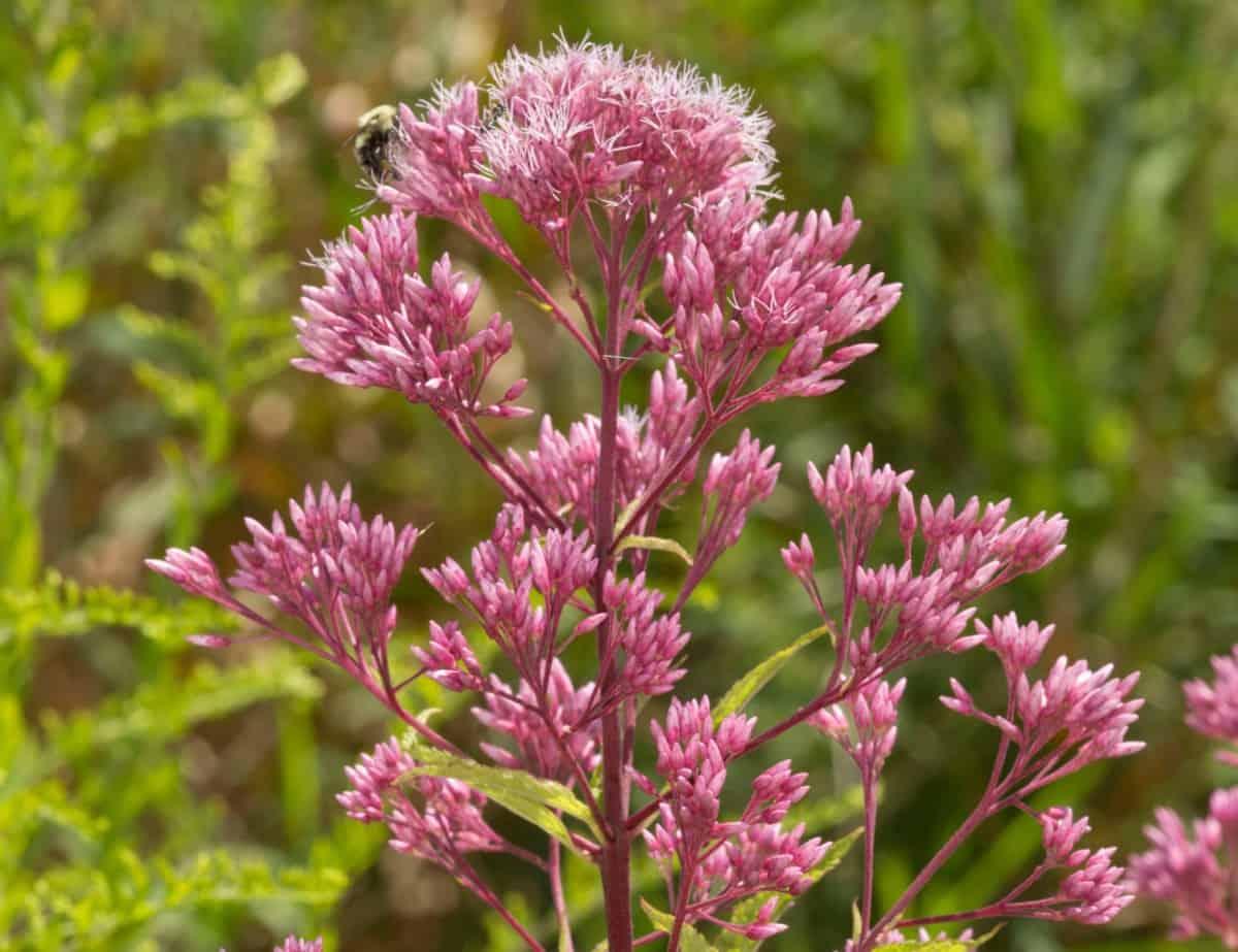 Joe-pye weed produces lots of fluffy flowers that butterflies enjoy.