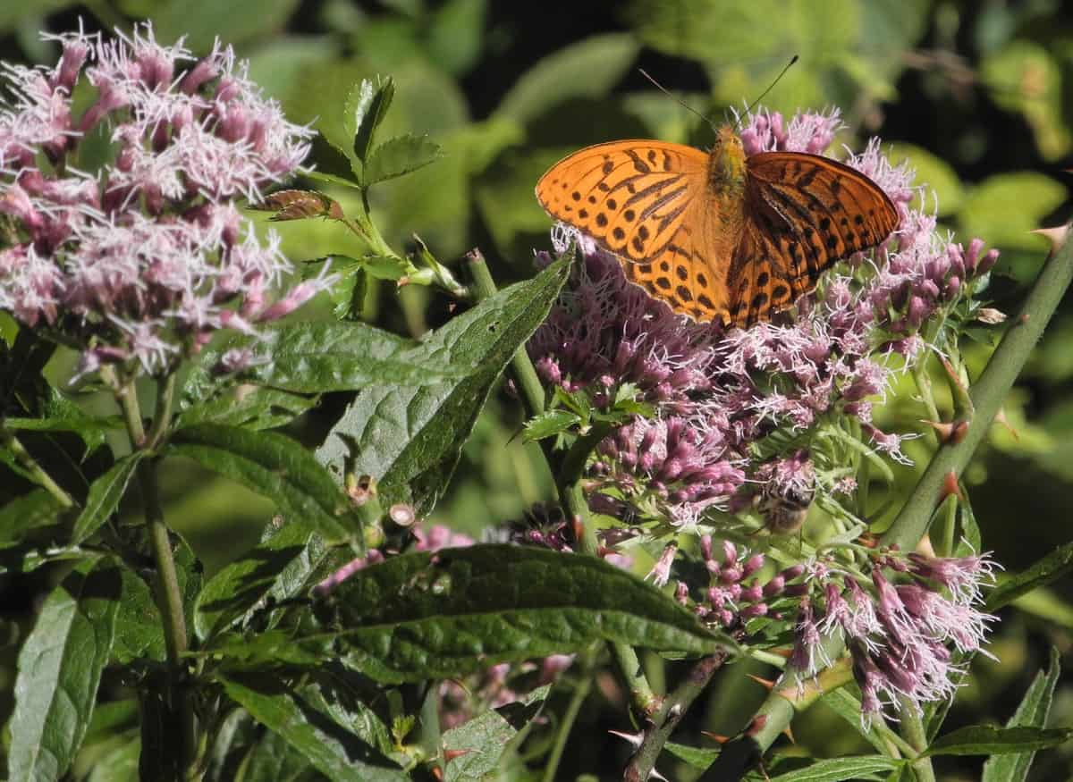 Joe pye weed blooms later in the season and attracts butterflies and other pollinators.