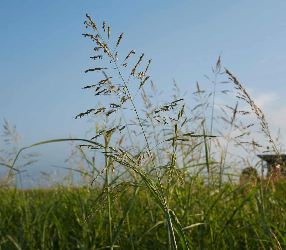 Johnsongrass is a perennial that is a fast and prolific grower.