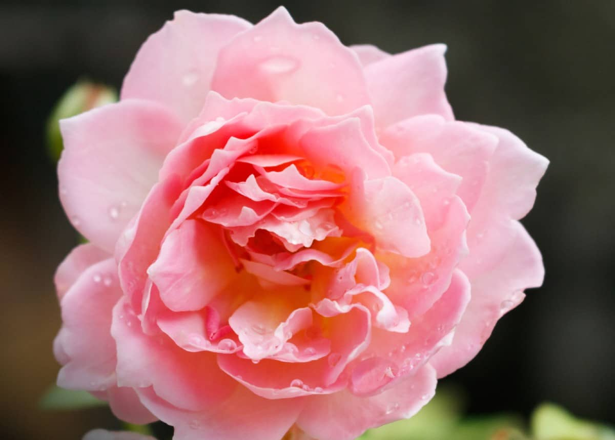 The Jubilee Celebration rose needs full sun and well-draining soil.
