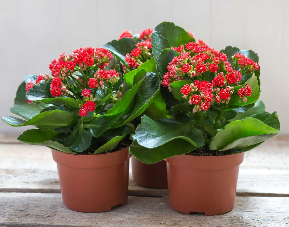 Kalanchoe is a succulent that is easy to grow.