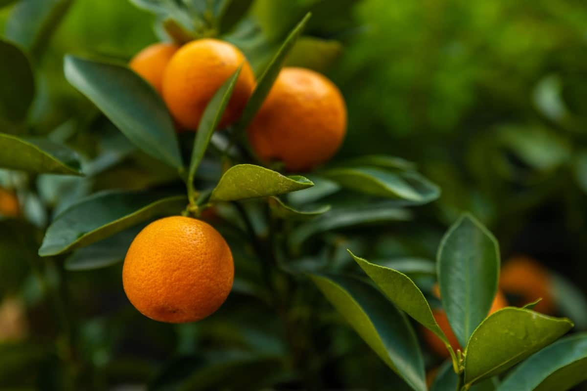A small tree with small fruit, the kumquat is perfect for container gardening.