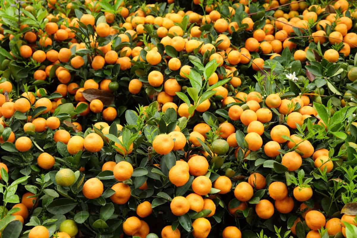The kumquat is a citrus tree that is incredibly low maintenance.