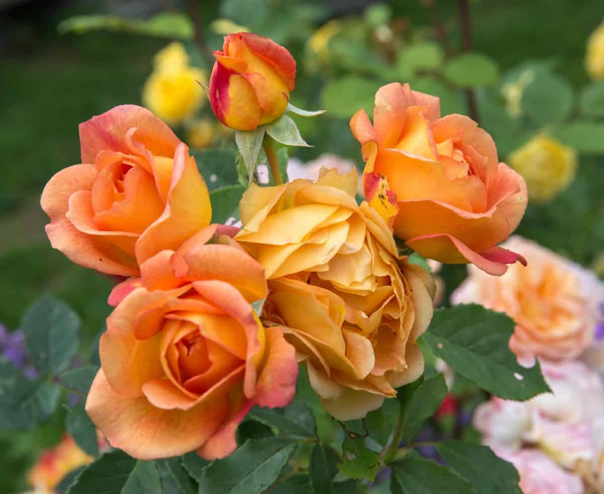 The Lady of Shalott is a shrub rose with apricot-colored blooms.
