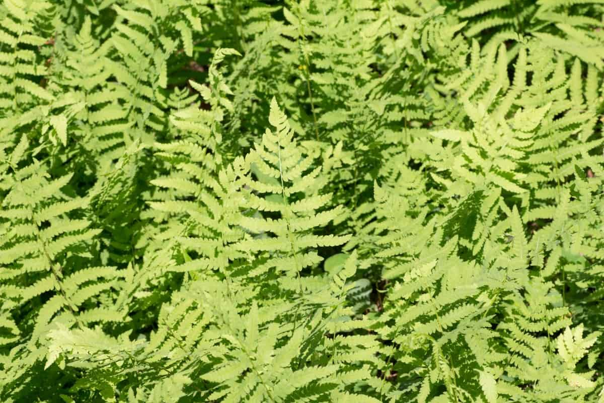 The elegant fronds of the lady fern form rosettes.