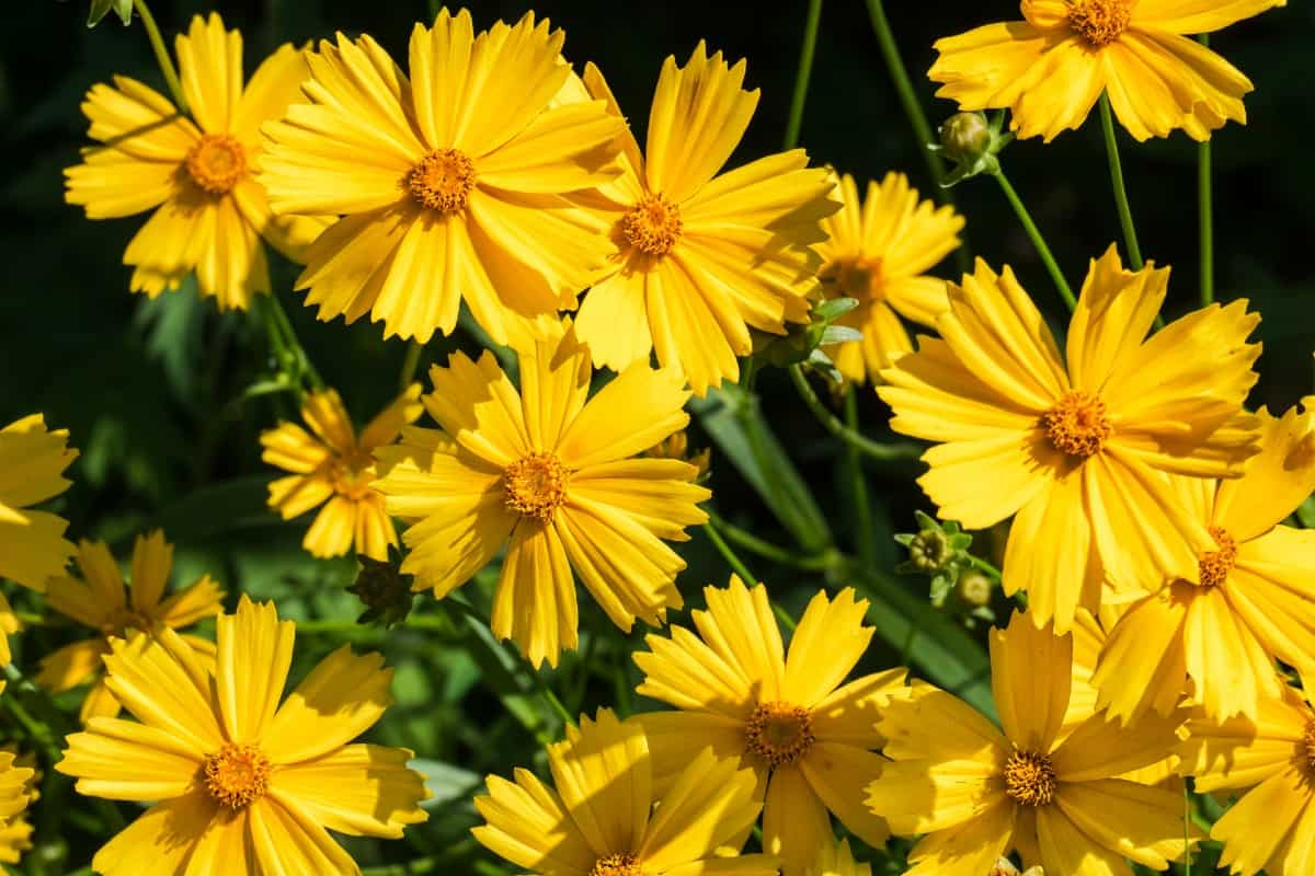 The lance-leaved coreopsis blooms a long time and offers color after other flowers finish blooming.