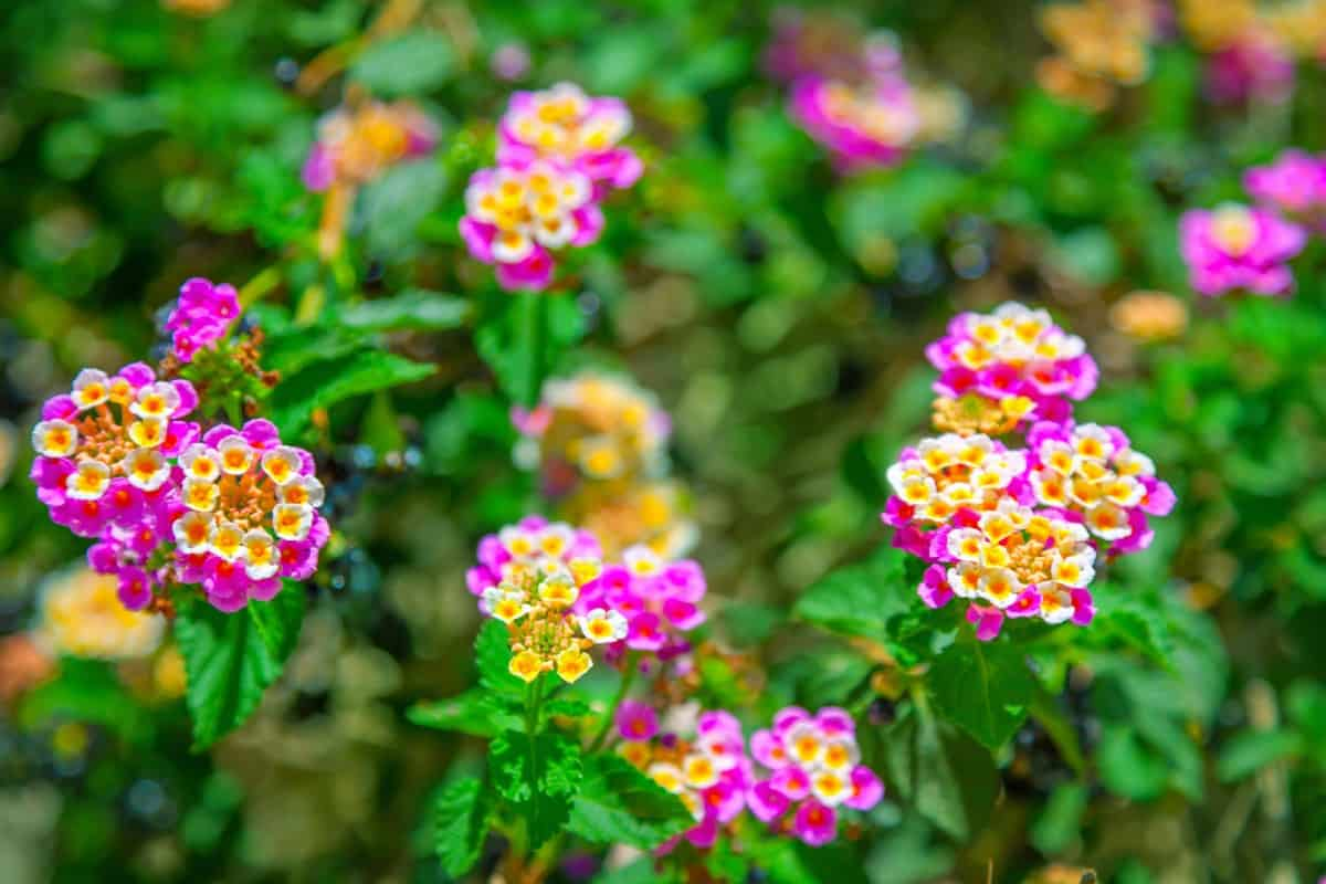 Lantana has brightly-colored flowers that last throughout the summer.