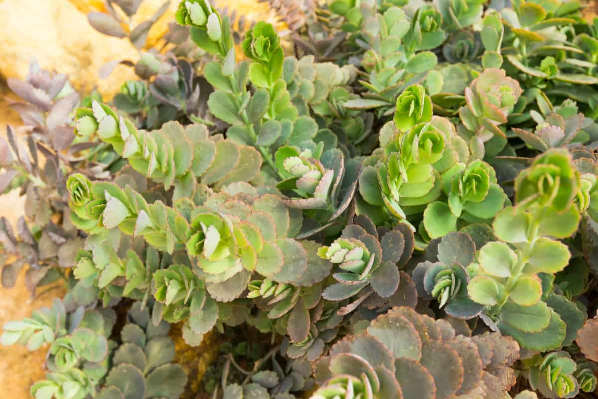 Lavender scallops is also known as kalanchoe stonecrop.