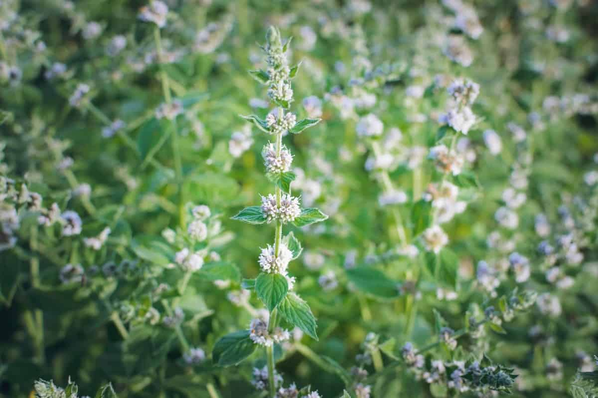 Lemon balm attracts pollinators like butterflies and bees.